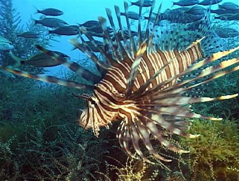 Fisheries Department Tries To Tame The Lionfish (St Lucia)