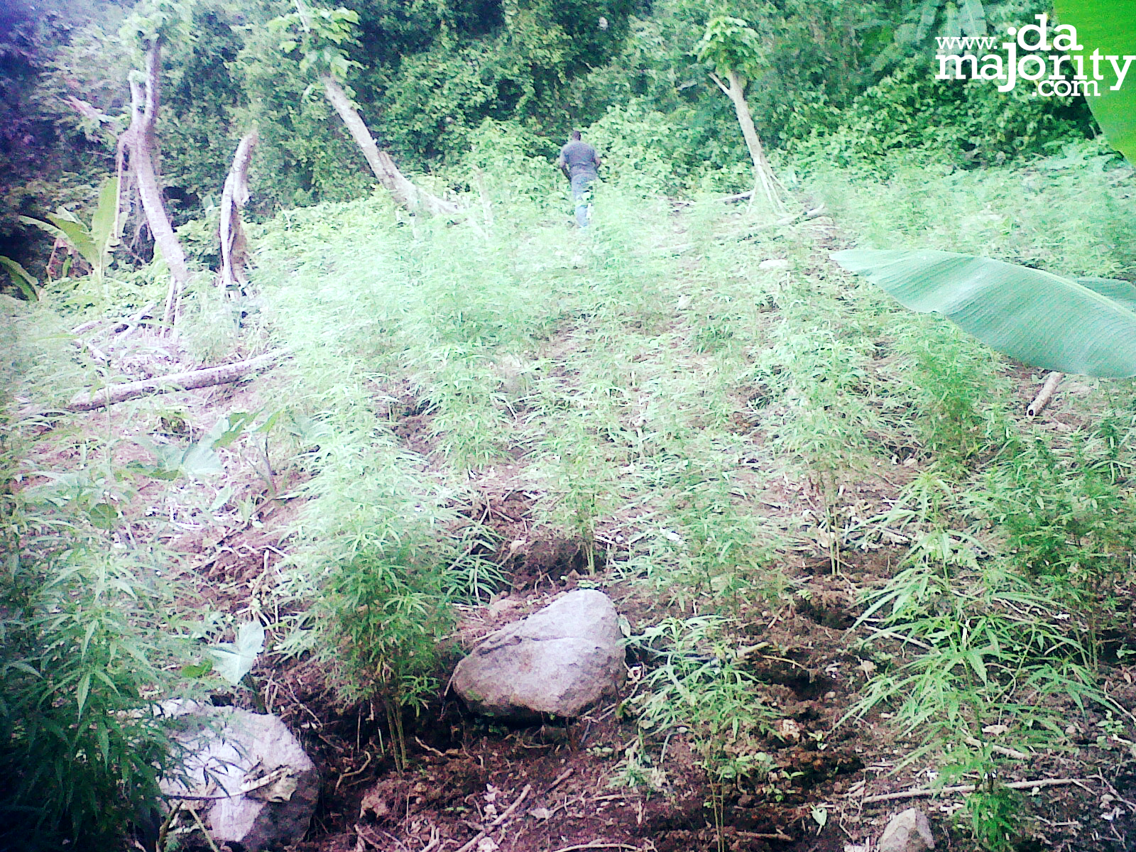 St Lucia News : 186 Marijuana Plants destroyed at Des Barras, Babonneau