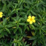 The No.1 Herb for Women - Aphrodisiac & Sexual Booster - DAMIANA